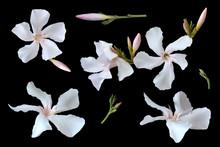 Oleander White Flower. Tropica...
