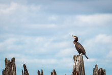 Great Cormorant Phalacrocorax ...