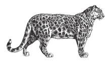 Snow Leopard (Panthera Uncia) / Vintage Illustration From Brockhaus Konversations-Lexikon 1908