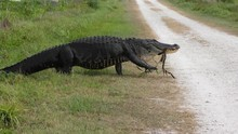 Large Alligator Walking To The...