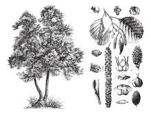 Common Alder (Alnus Glutinosa) / Vintage Illustration From Brockhaus Konversations-Lexikon 1908