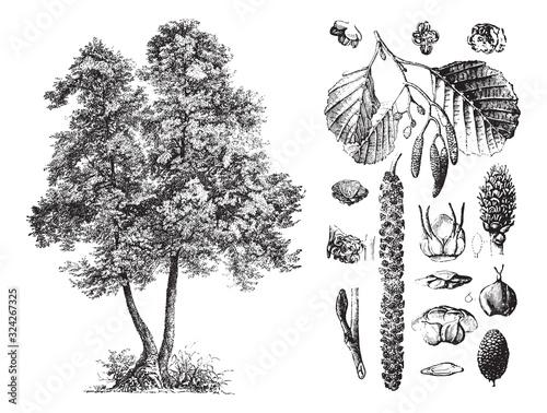 Photo Common alder (Alnus glutinosa) / vintage illustration from Brockhaus Konversatio