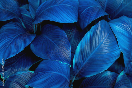 Wall mural - leaves of Spathiphyllum cannifolium, abstract green texture, nature background, tropical leaf