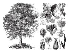 Common Beech (Fagus Sylvatica)...