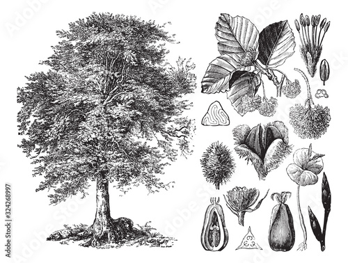 Fotografie, Obraz Common beech (Fagus sylvatica) / vintage illustration from Brockhaus Konversatio