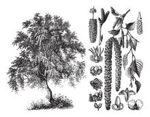 Silver Birch (Betula Verrucosa) / Vintage Illustration From Brockhaus Konversations-Lexikon 1908