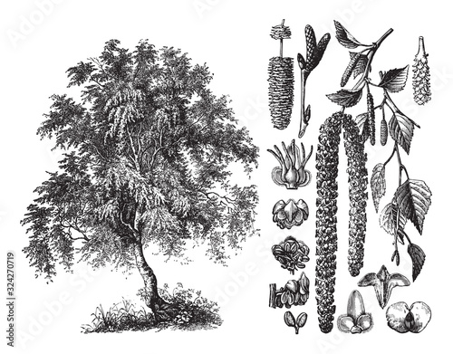 Fototapeta Silver birch (Betula verrucosa) / vintage illustration from Brockhaus Konversati