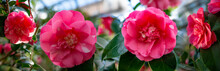 Beautiful Camellia - In Glassh...