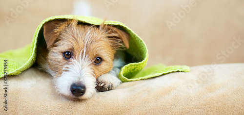 Fotografía Pet grooming concept, web banner of a furry happy jack russell dog puppy with to