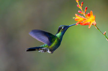 Hummingbird Long-tailed Sylph, Aglaiocercus Kingi With Orange Flower, In Flight. Hummingbird From Colombia In The Bloom Flower, Wildlife From Tropic Jungle.