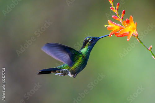 Papel de parede Hummingbird Long-tailed Sylph, Aglaiocercus kingi with orange flower, in flight