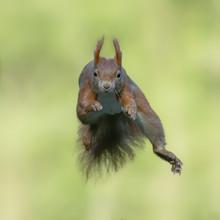 Cute Eurasian Red Squirrel (Sc...