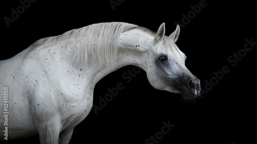 Fototapeta Portrait of a beautiful white arabian horse with long mane on black background isolated obraz