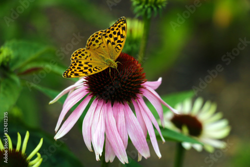 Wallpaper Mural Butterfly pollinating flowers in the summer day, soft background.