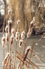 Fluffy Dry Cattail And Winter ...
