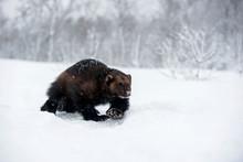 Norway, Bardu, Wolverine Walking Through Snow