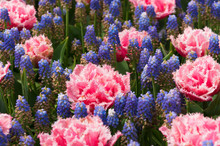 Flower Bed With Muscari And Co...