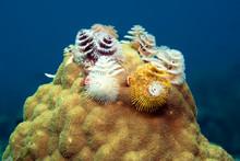 Caribbean, Antilles, Curacao, Westpunt, Christmas Tree Worm, Spirobranchus Giganteus, On Brain Coral In Caribbean Sea