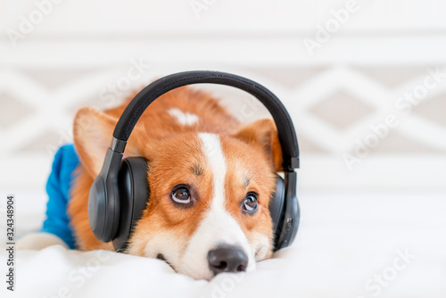 Cute corgi dog in stylish blue bomber jacket sitting and wireless headphones Wallpaper Mural