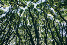 Low Angle View Of Grove Of Coast Live Oaks, Bishop Pines And Madrone Trees,Tamales Bay State Park, Point Reyes National Seashore, California