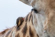 A Red-billed Oxpecker, Buphagu...