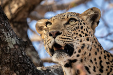 The Head Of A Leopard, Panthera Pardus, In A Tree, Mouth Open, Looking Out Of Frame ,Londolozi Game Reserve