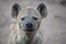 The Head Of A Spotted Hyena, C...