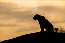 The Silhouette Of A Leopard, P...