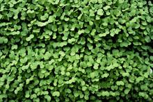 Close Up Of Garden Cress
