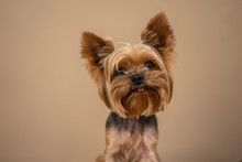 Yorkshire Terrier Dog On A Bei...