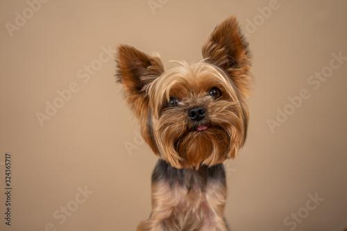 Canvas Print Yorkshire Terrier dog on a beige background
