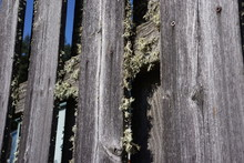 Lichen On An Old Wood Fence
