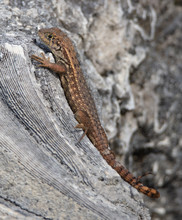 Northern Curly Tailed Lizard