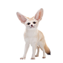 Pretty Fennec Fox Isolated On White Background