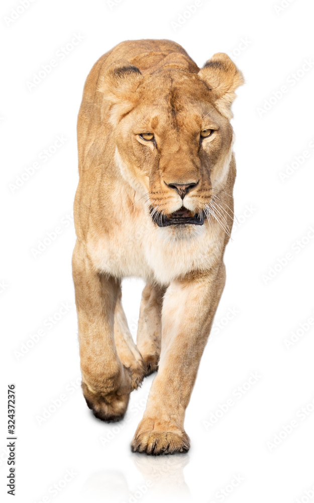 Fototapeta Lioness walking on white background