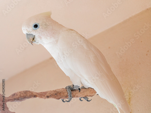 Photo The Tanimbar corella (Cacatua goffiniana) also known as Goffin's cockatoo or the blushing cockatoo, is a species of cockatoo endemic to forests of Yamdena