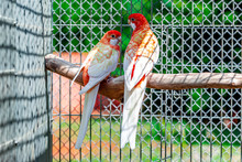 The Crimson Rosella (Platycercus Elegans) Is A Parrot Native To Eastern And South Eastern Australia Which Has Been Introduced To New Zealand And Norfolk Island.