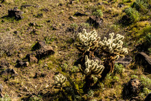 Arizona Teddy Bear Cholla Cact...
