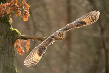 Flying Long-eared Owl From Close Up With Copy Space In Photo