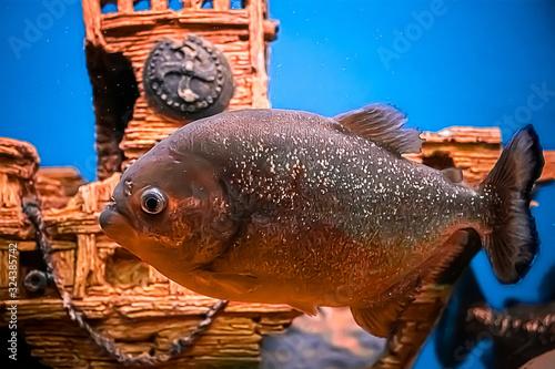 Valokuva Aggressive piranha Pygocentrus nattereri  in blue water