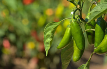 Jalapeno Chile Peppers On Vine