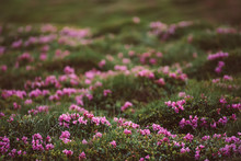 Rhododendron Flowers In Nature