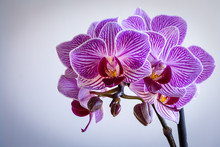 Close Up Of A Beautiful Purple And White Orchid On A White Background