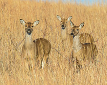 Three White-tailed Deer Does