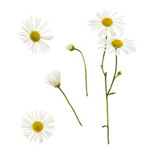 Set Of Daisy Flowers And Buds