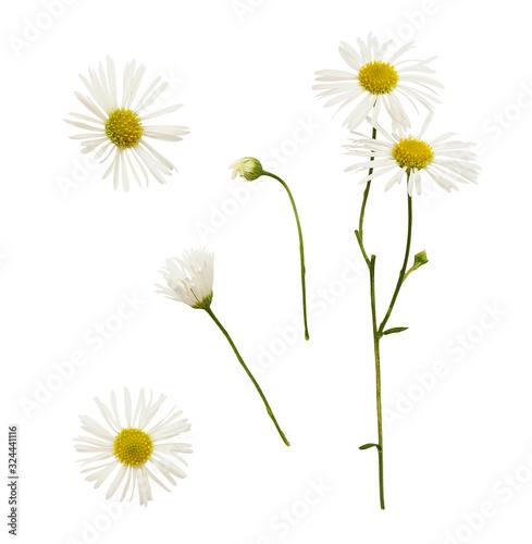 Obraz na płótnie Set of daisy flowers and buds