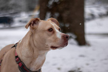 Pitbull Looking Majestic In Snow