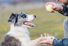 Dog Training With A Ball In Th...