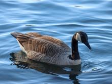 Canadian Goose 3/4