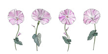 Floral Set Of Pale Pink Flowers Bindweed On Stems With Green Leaves. Isolated On White. Morning-glory For The Design Greeting Cards, Wedding Invitation,textiles, Wallpaper. Vector Stock Illustration.